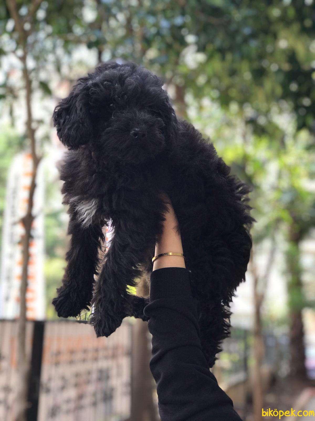 Rusya Scr'li Toy Poodle Yavrular 1
