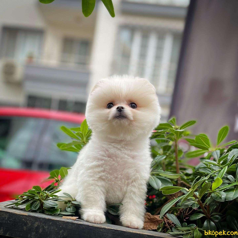 Safkan Pomeranian Boo Kızımız DOROTY / Yavrupatiler 2