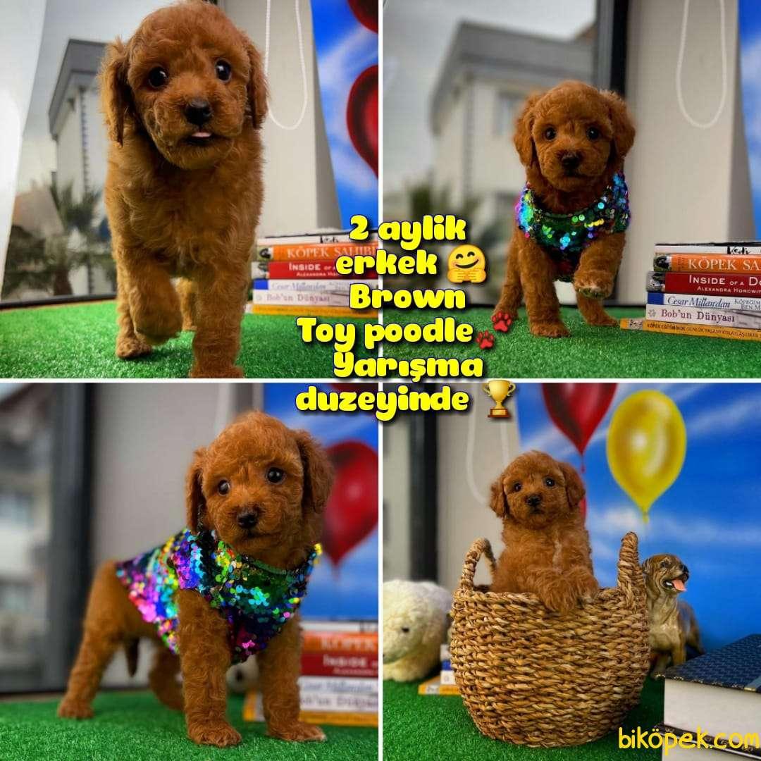 Safkan Red Brown Toy Poodle Oğlumuz Pody  Yavrupatiler 4