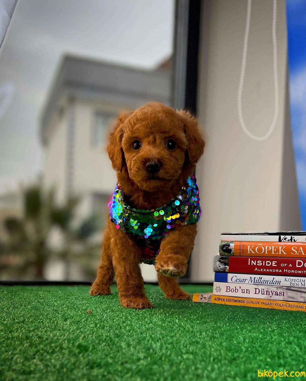 Safkan Red Brown Toy Poodle Oğlumuz Pody  Yavrupatiler 1
