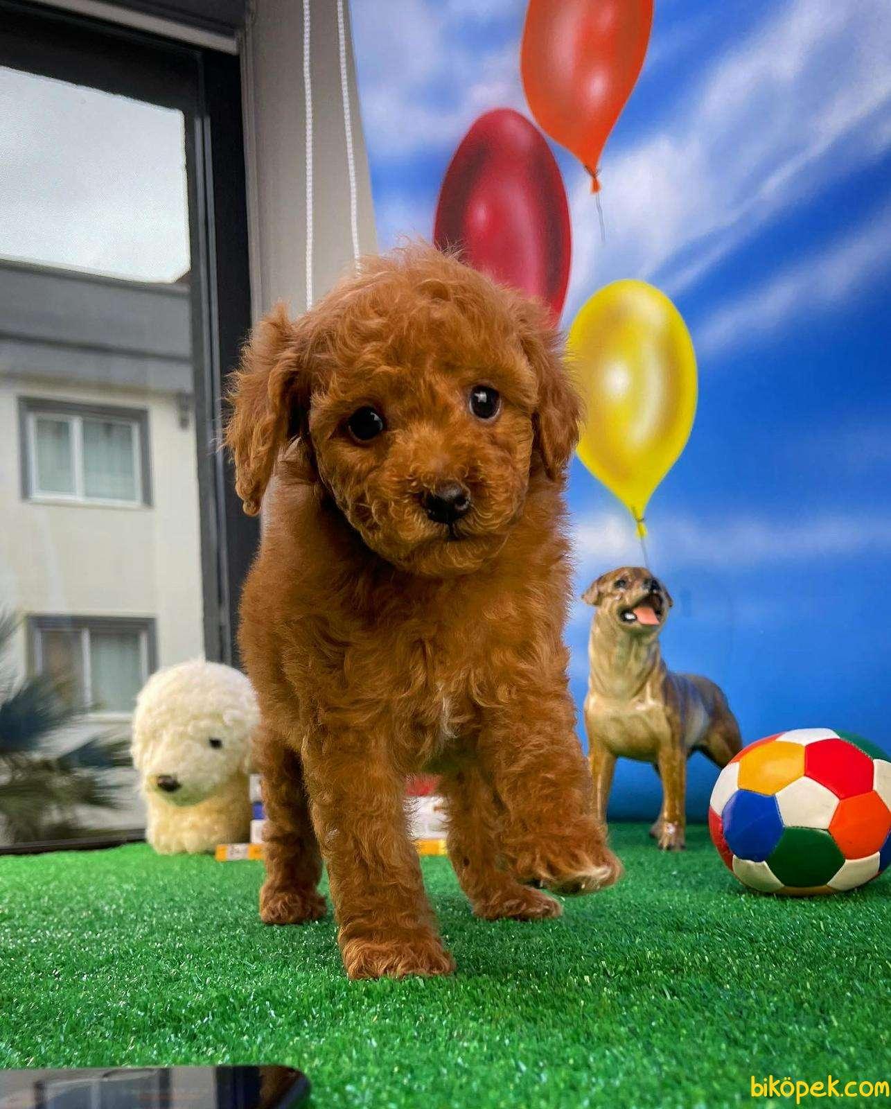 Safkan Red Brown Toy Poodle Oğlumuz Pody  Yavrupatiler 5