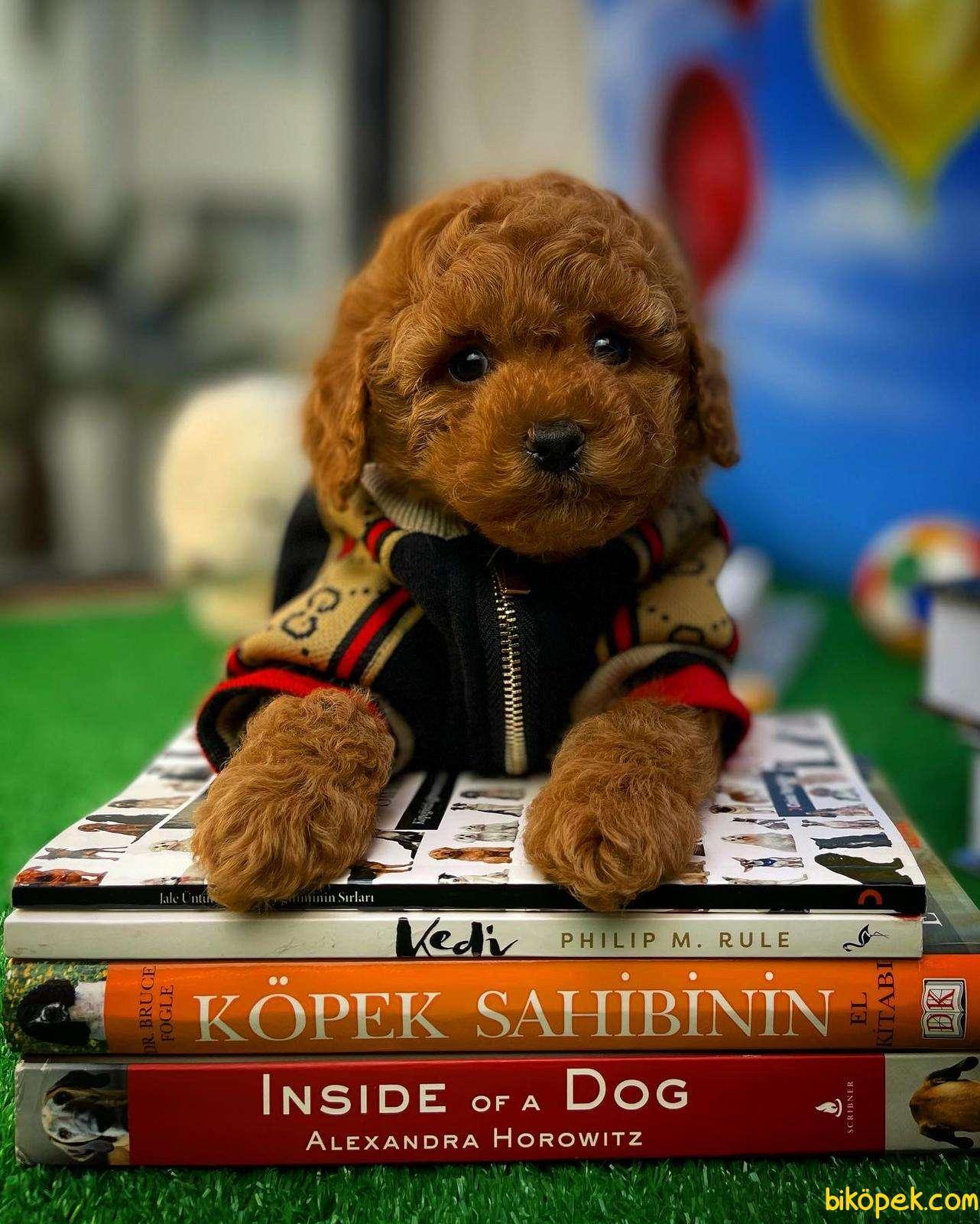 Safkan Red Brown Toy Poodle Oğlumuz Tody Yavrupatiler 2