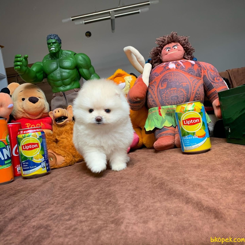 Safkan Saglık Garantili Pomeranian Yavrularımız 4