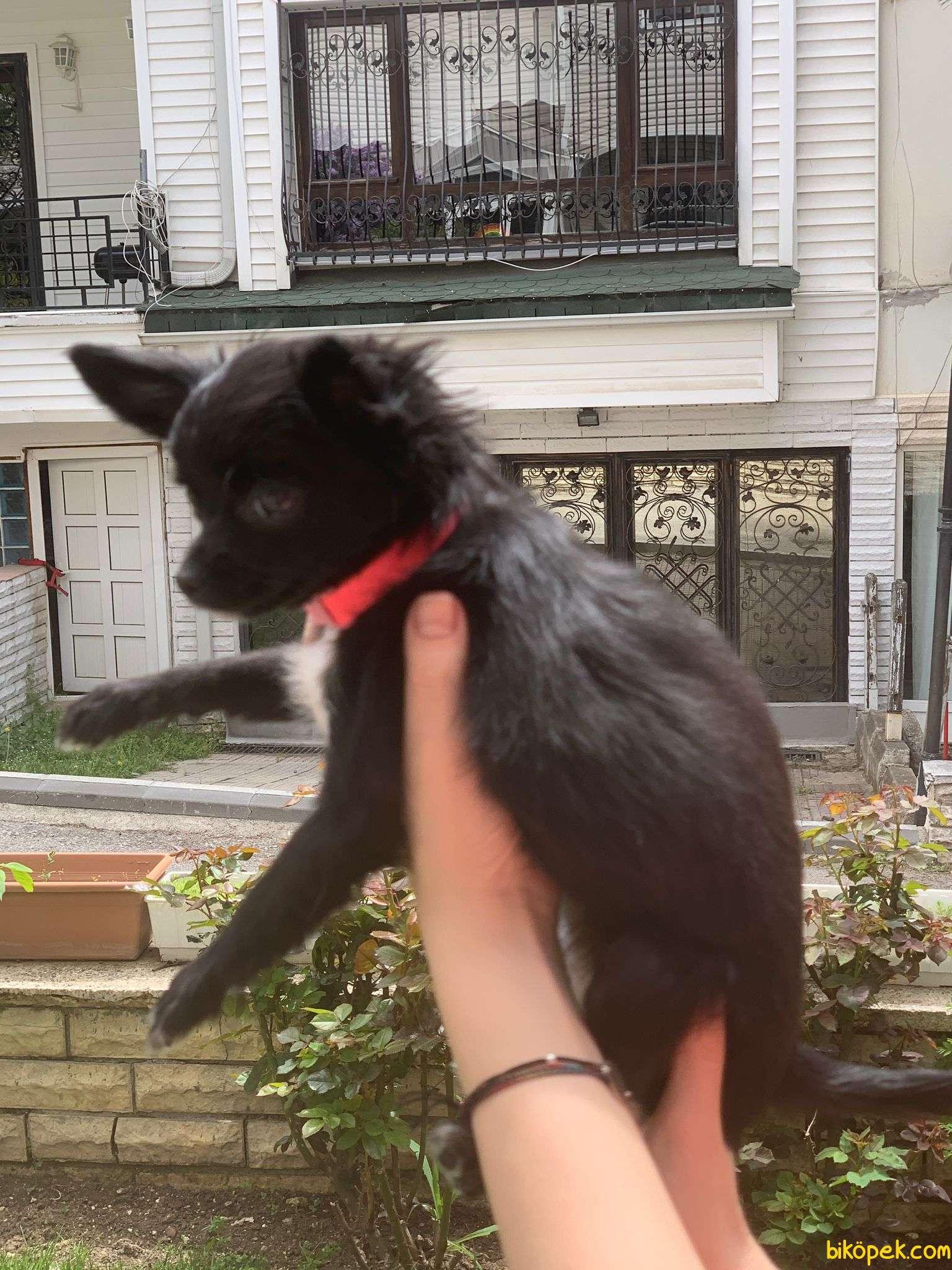 Safkan Scr'li Chihuahua Pamuk Kızımız 3