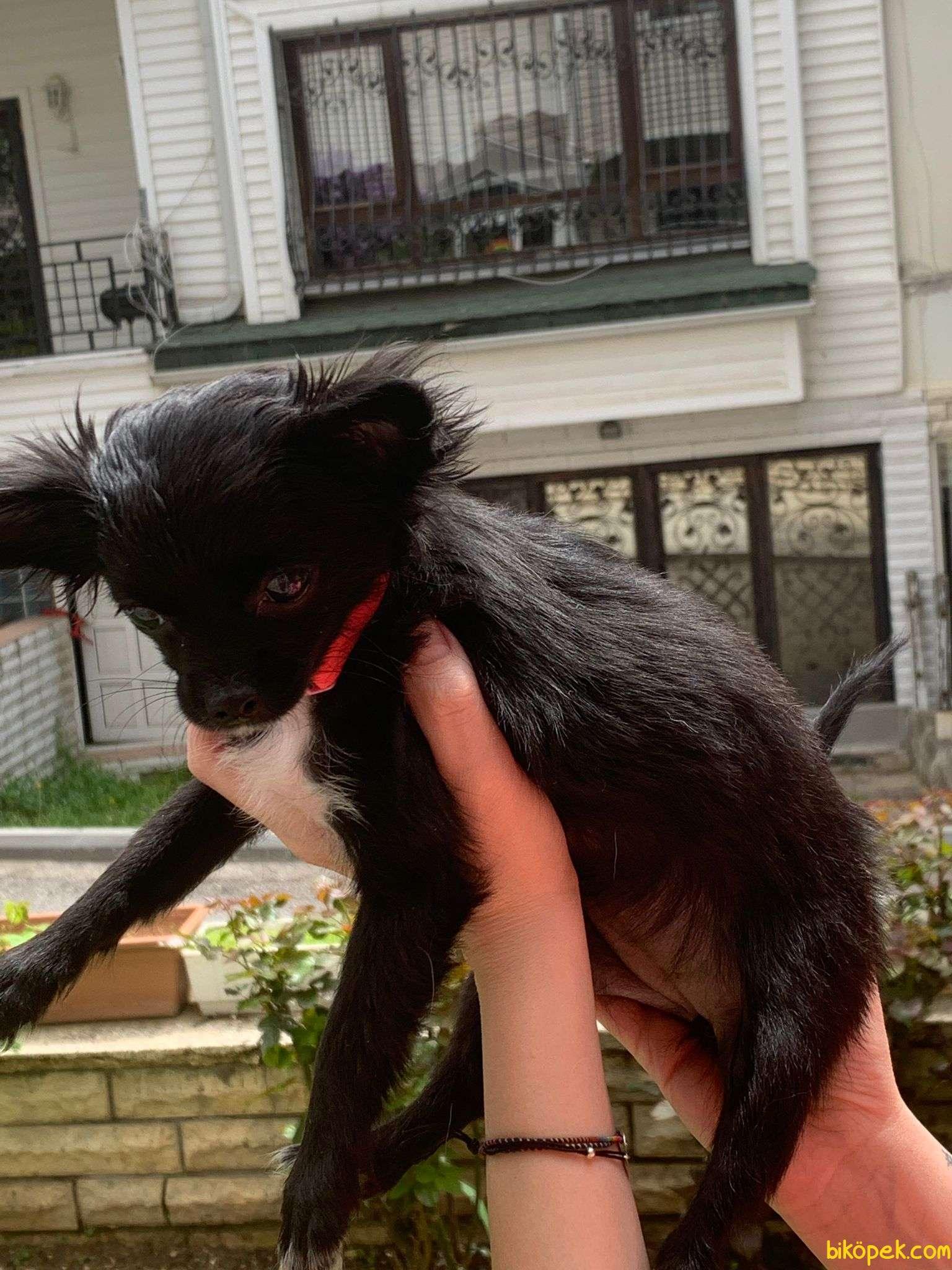 Safkan Scr'li Chihuahua Pamuk Kızımız 2