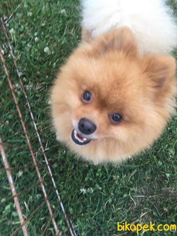 Safkan Teacup Bear Pomeranian Yavrularımız 2