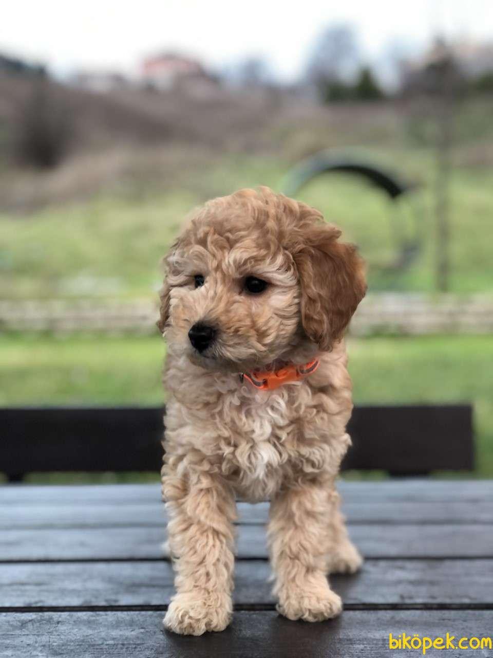 Safkan Toy Poodle Yavrumuz 3