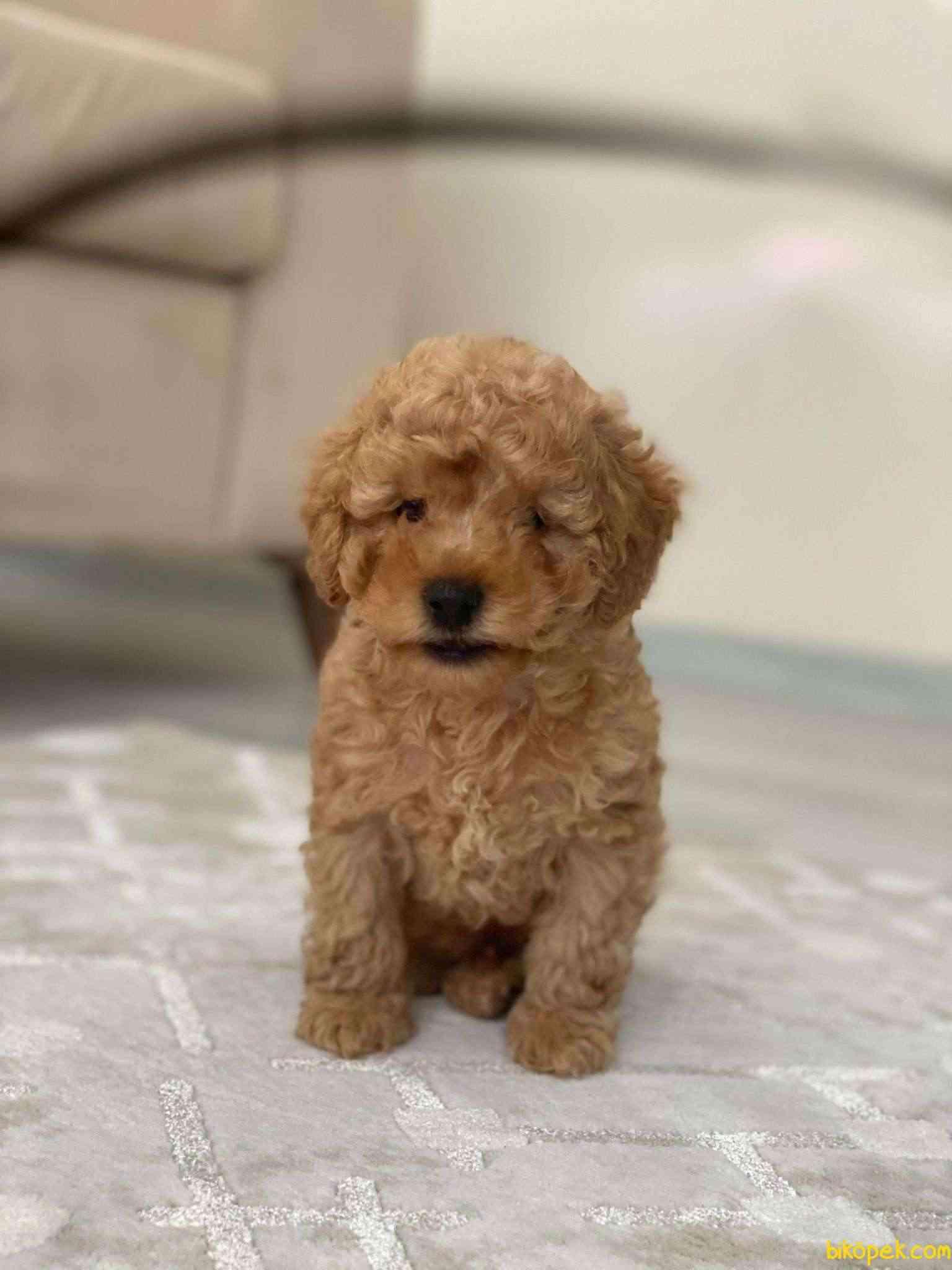Safkan Toy Poodle Yavrumuz 4
