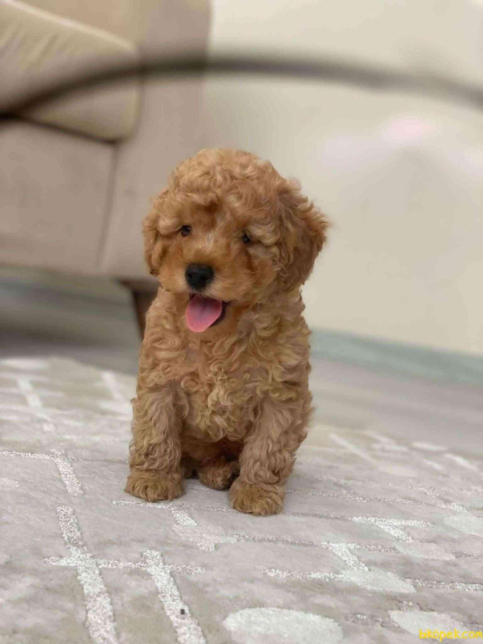 Safkan Toy Poodle Yavrumuz 1