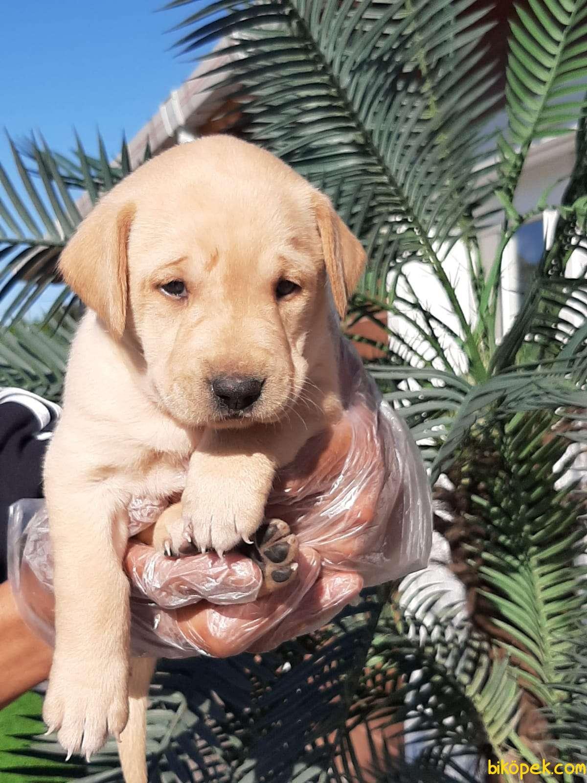 Sağlık Ve Irk Garantili Labrador Retriever Yavrulari 1