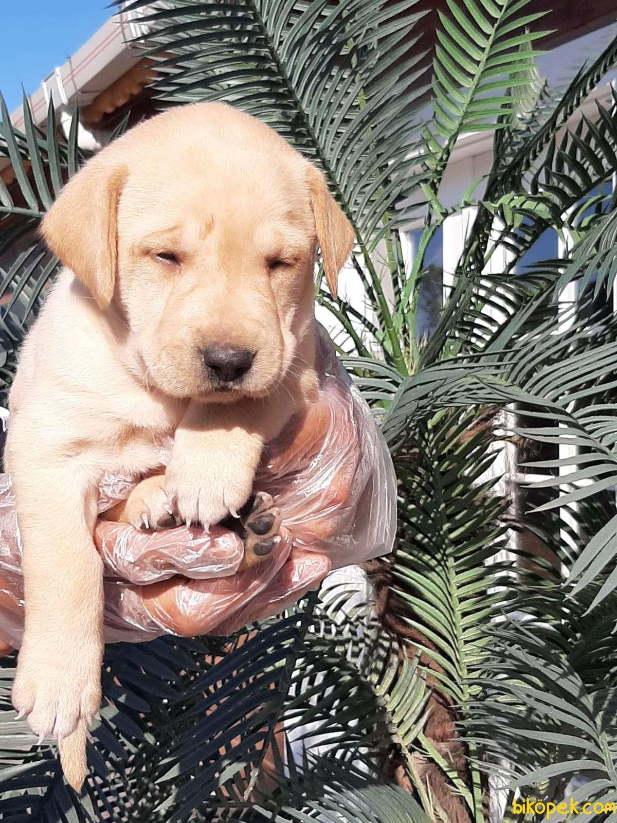Sağlık Ve Irk Garantili Labrador Retriever Yavrulari 5