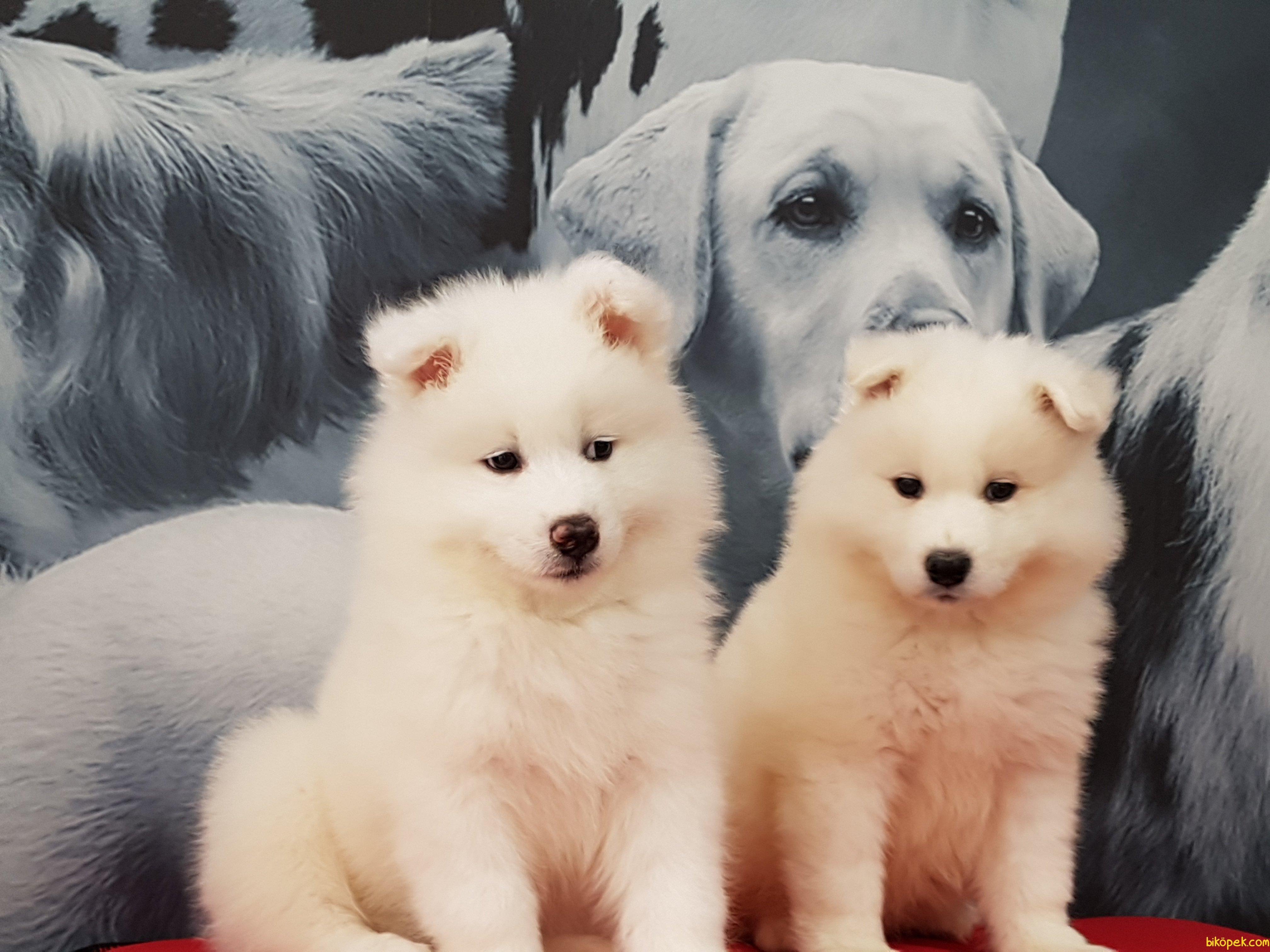 Samoyed Yavruları 2