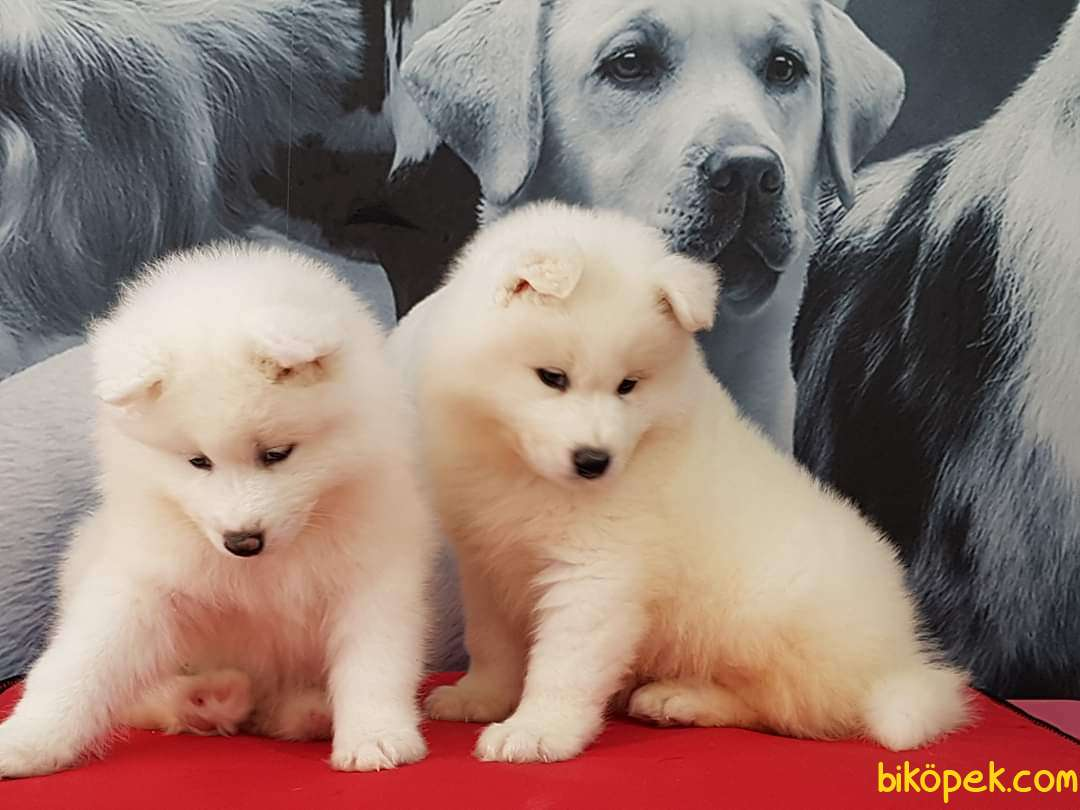 Samoyed Yavruları 5