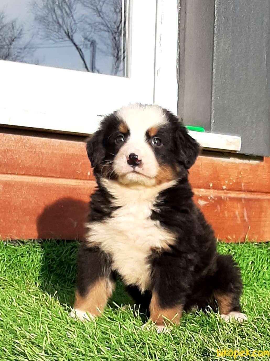 SATILIK  BERNESE MOUNTAIN DOG 1