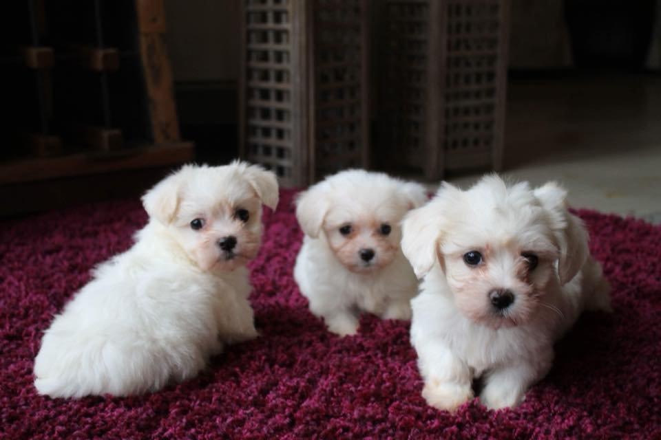 ✔️ Kar Beyaz Maltes Terrier ✔️ SATILIK YAVRU KÖPEK 2