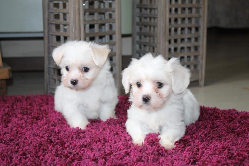 ✔️ Kar Beyaz Maltes Terrier ✔️ SATILIK YAVRU KÖPEK 1