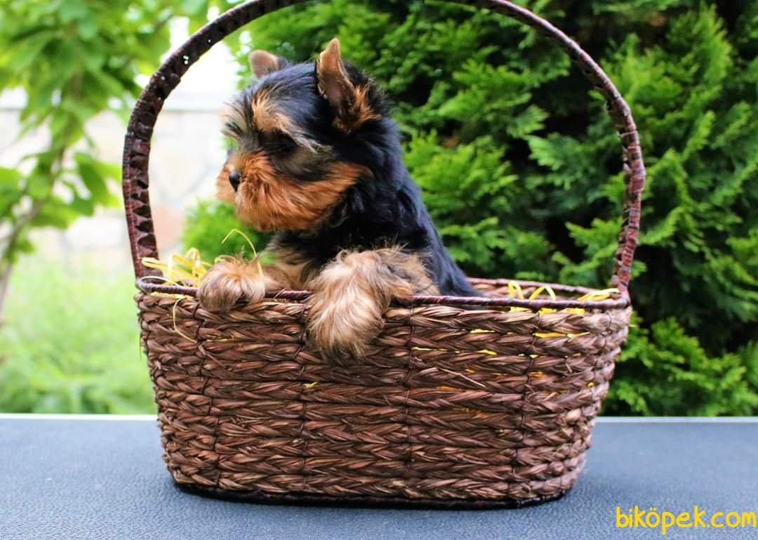 Satilik Tea Cup Yorkshire Terrier Yavrulari 1