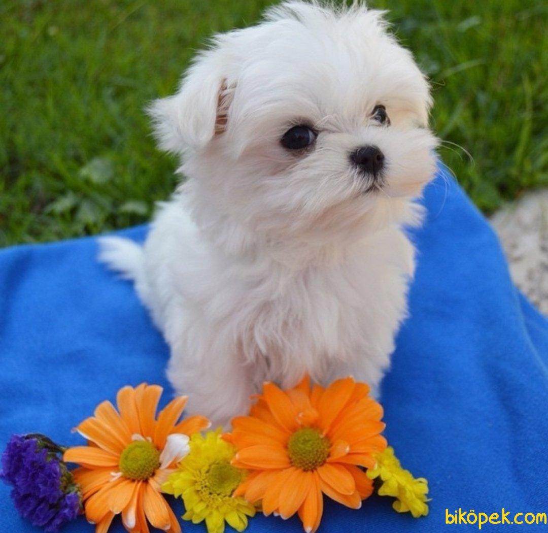 Scr Belgeli Maltese Terrier 2