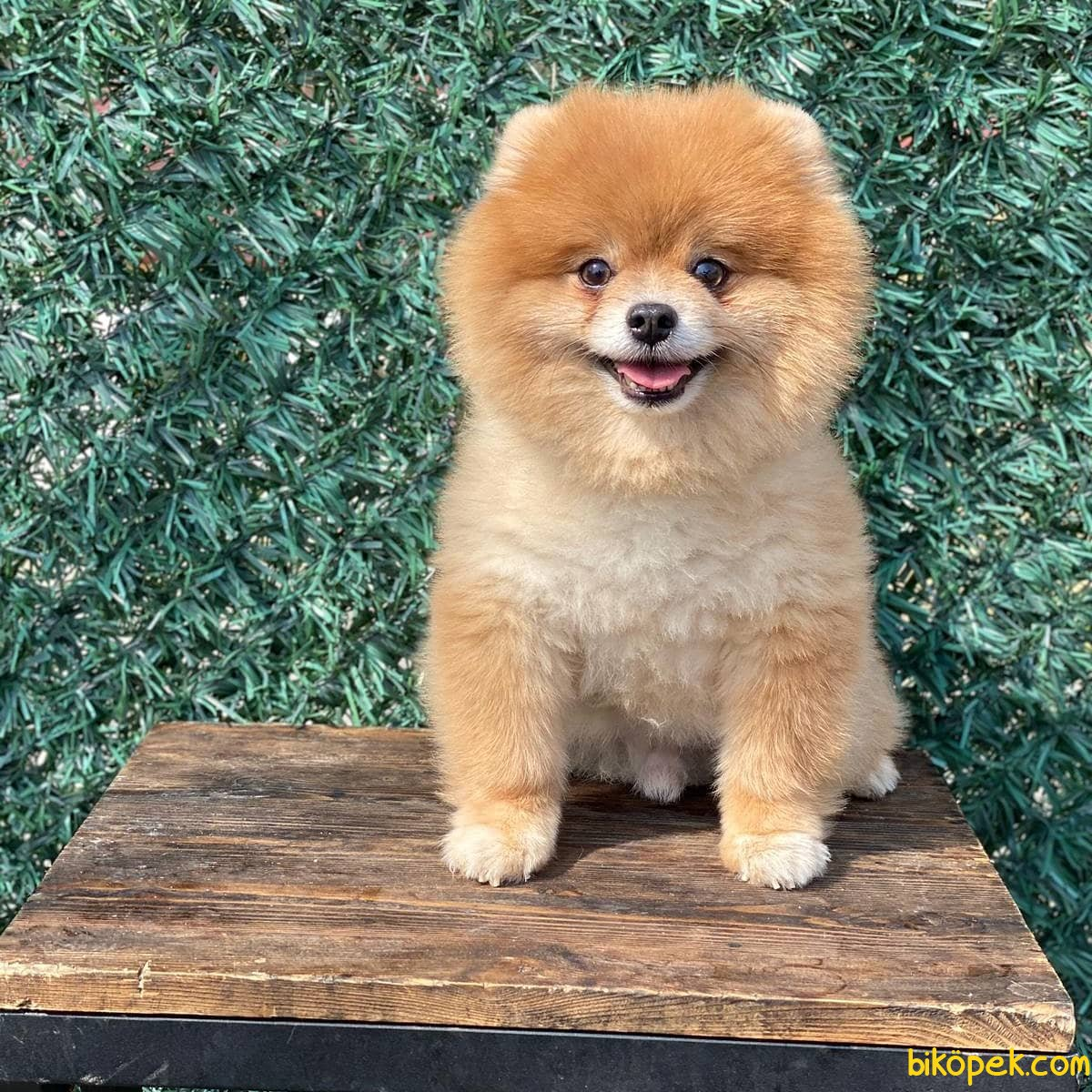Scr Belgeli Orjinal Pomeranian Boo 3