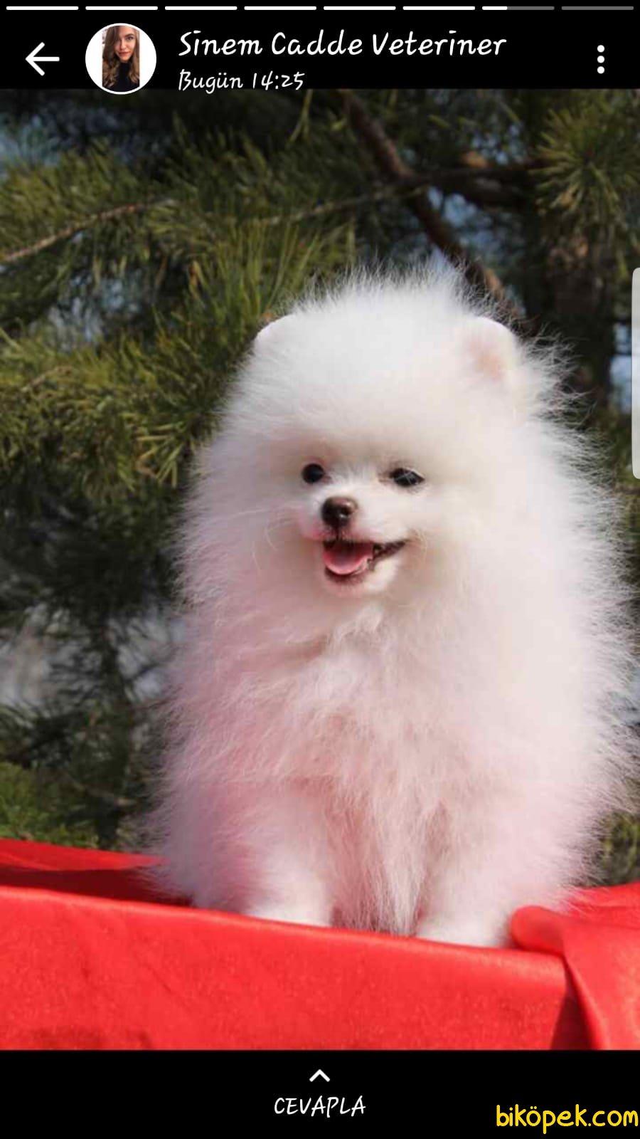 Scr Belgeli Orjinal Pomeranian Boo 1