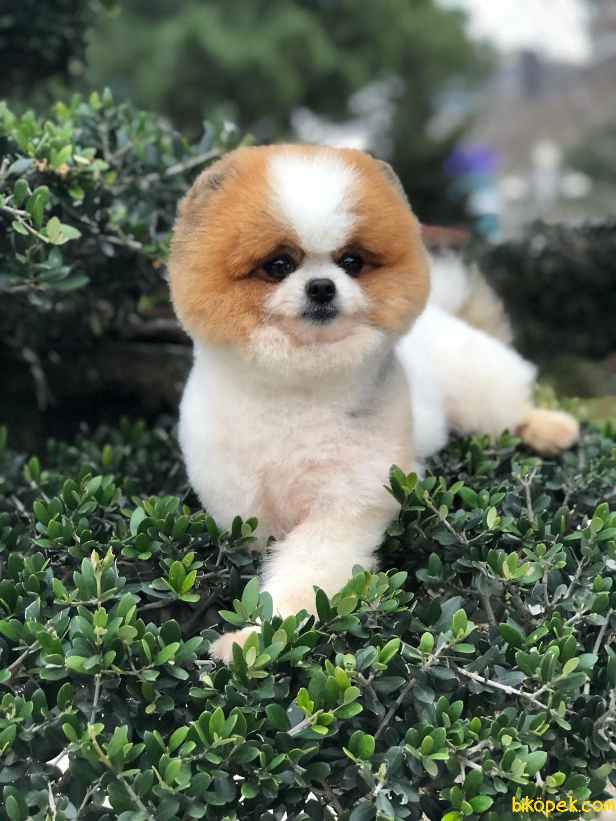 Scr Belgeli Orjinal Pomeranian Boo 2