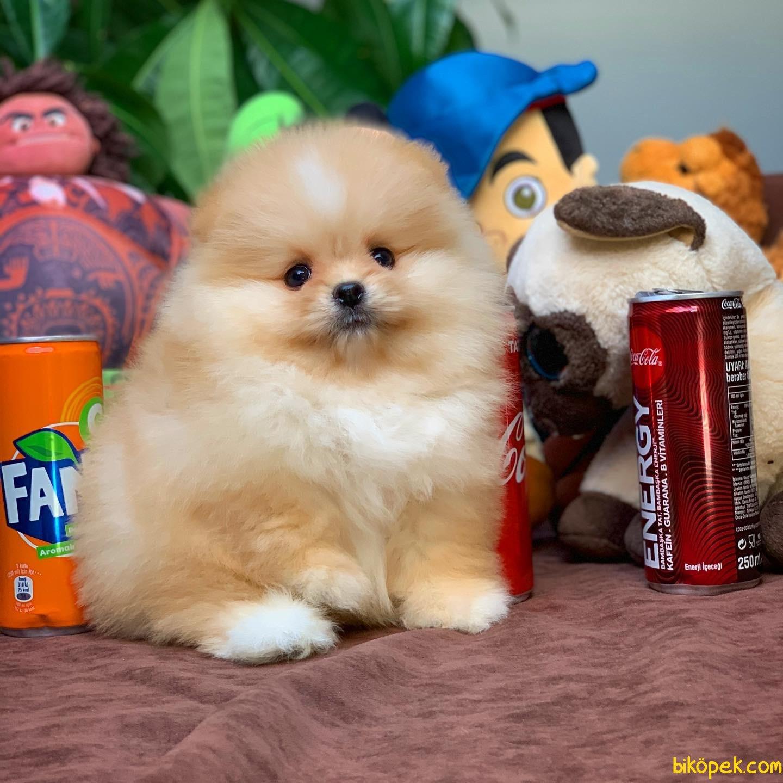 Show Class Secereli Pomeranian Yavrularımız 2