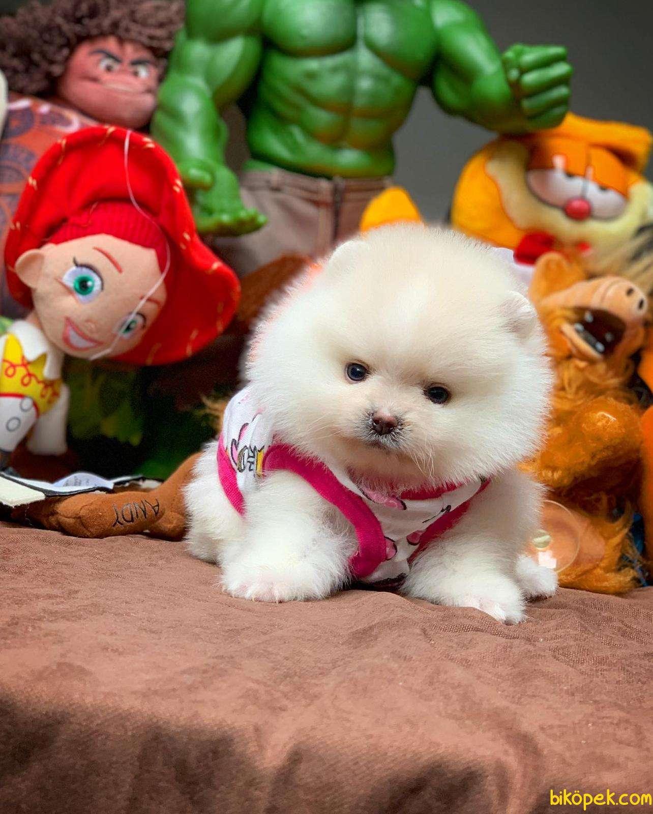 Show Class Secereli Pomeranian Yavrularımız 3