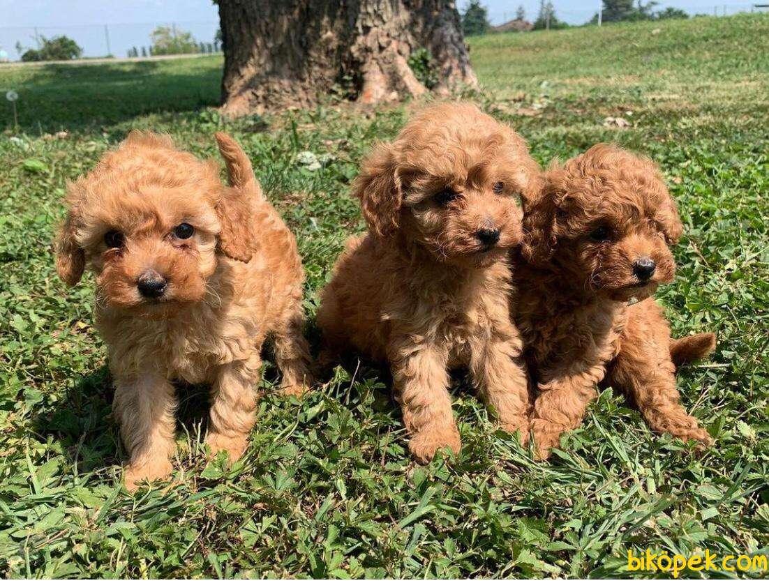 Show Class Secereli Toy Poodle Yavrularımız 3