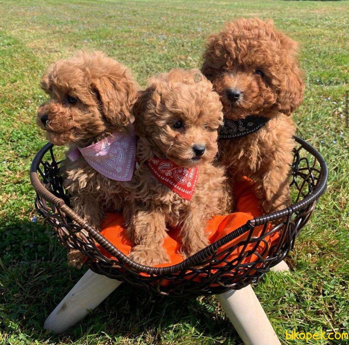 Show Class Secereli Toy Poodle Yavrularımız 2