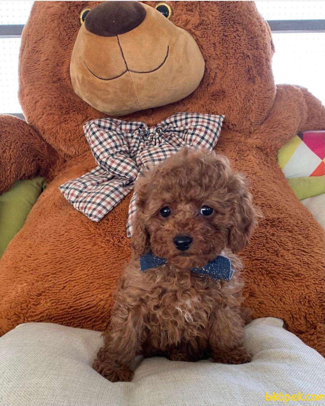 Show Kalıte Toy Poodle  Yavrularımız 2