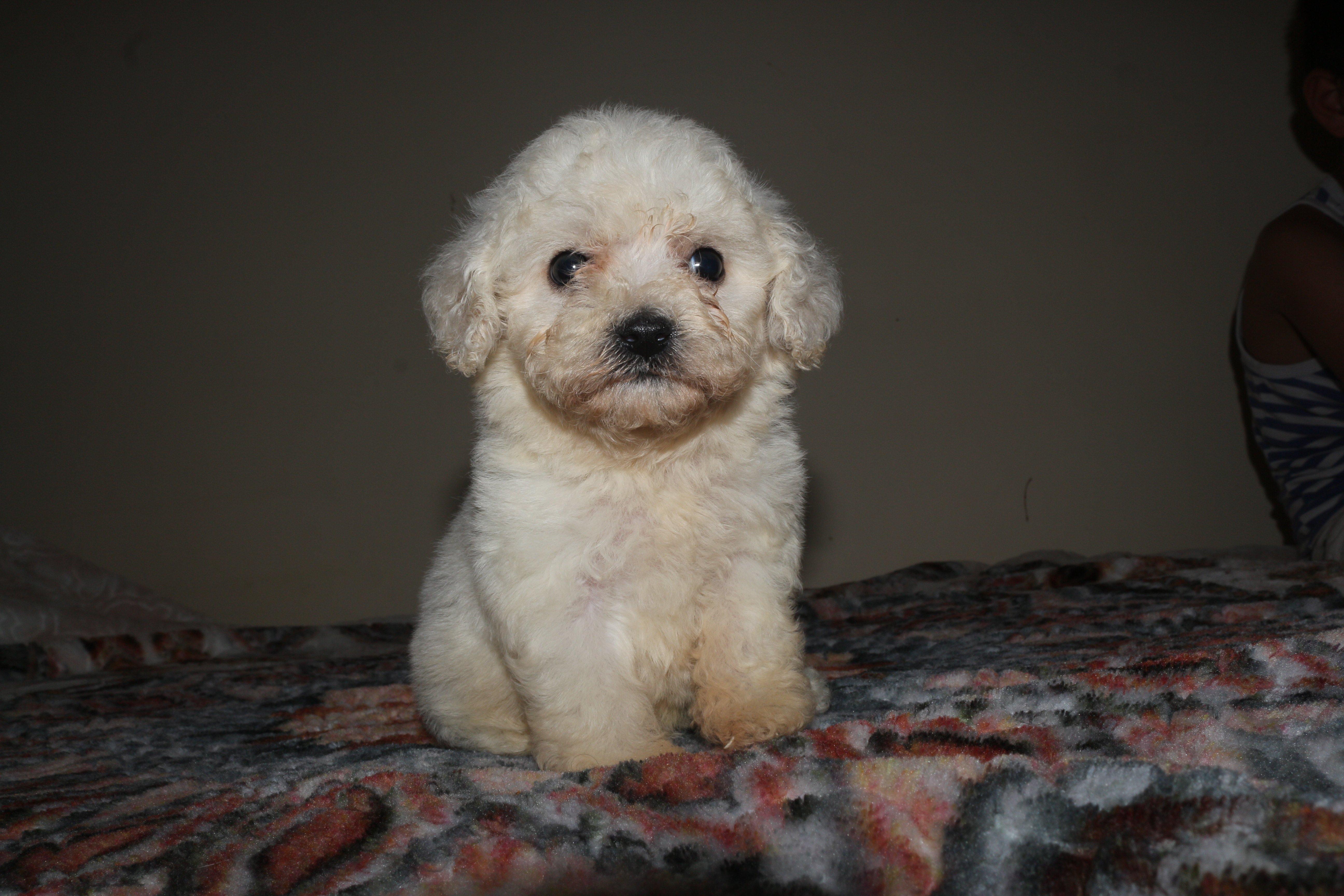 Sıfır Numara Maltese Terrier Yavrular 3