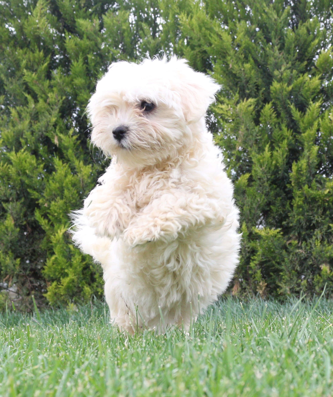 Sıfır Numara Maltese Terrier Yavrular 2