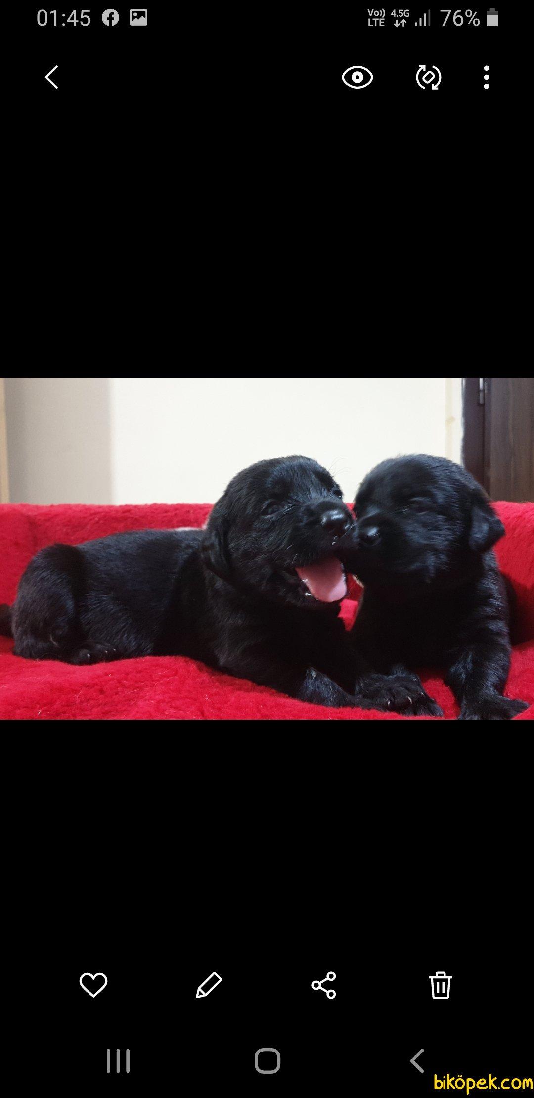 Siyah Labrador Yavrularımız 2