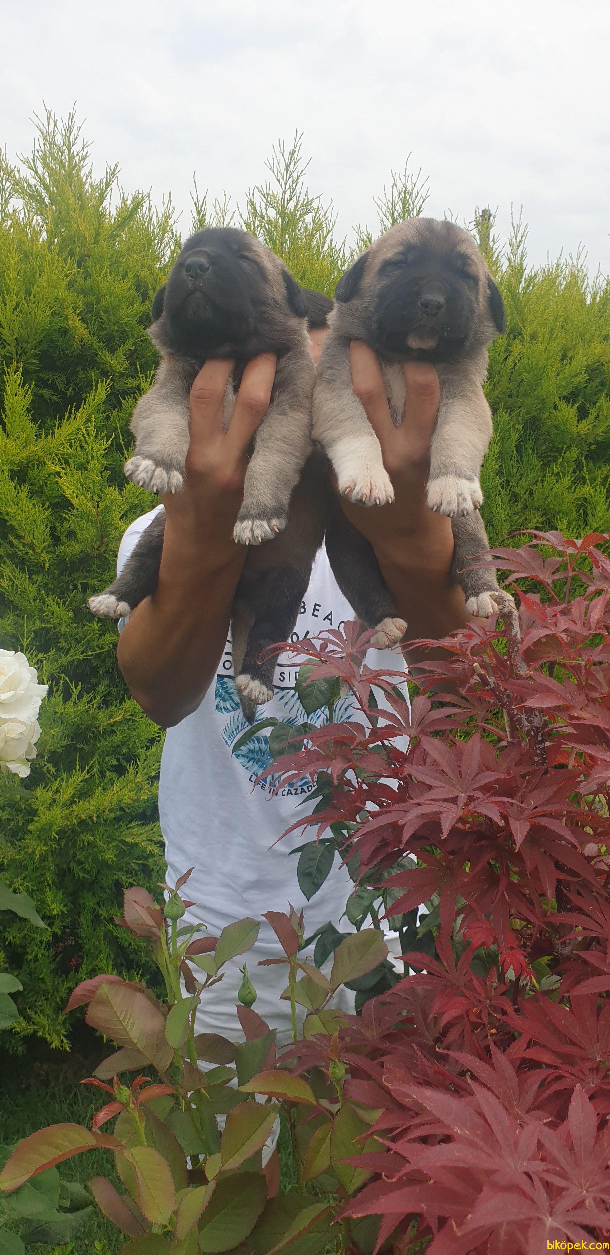 Sivas Kangal Da Öncüyüz Orijinal Safkan Yavrular 1