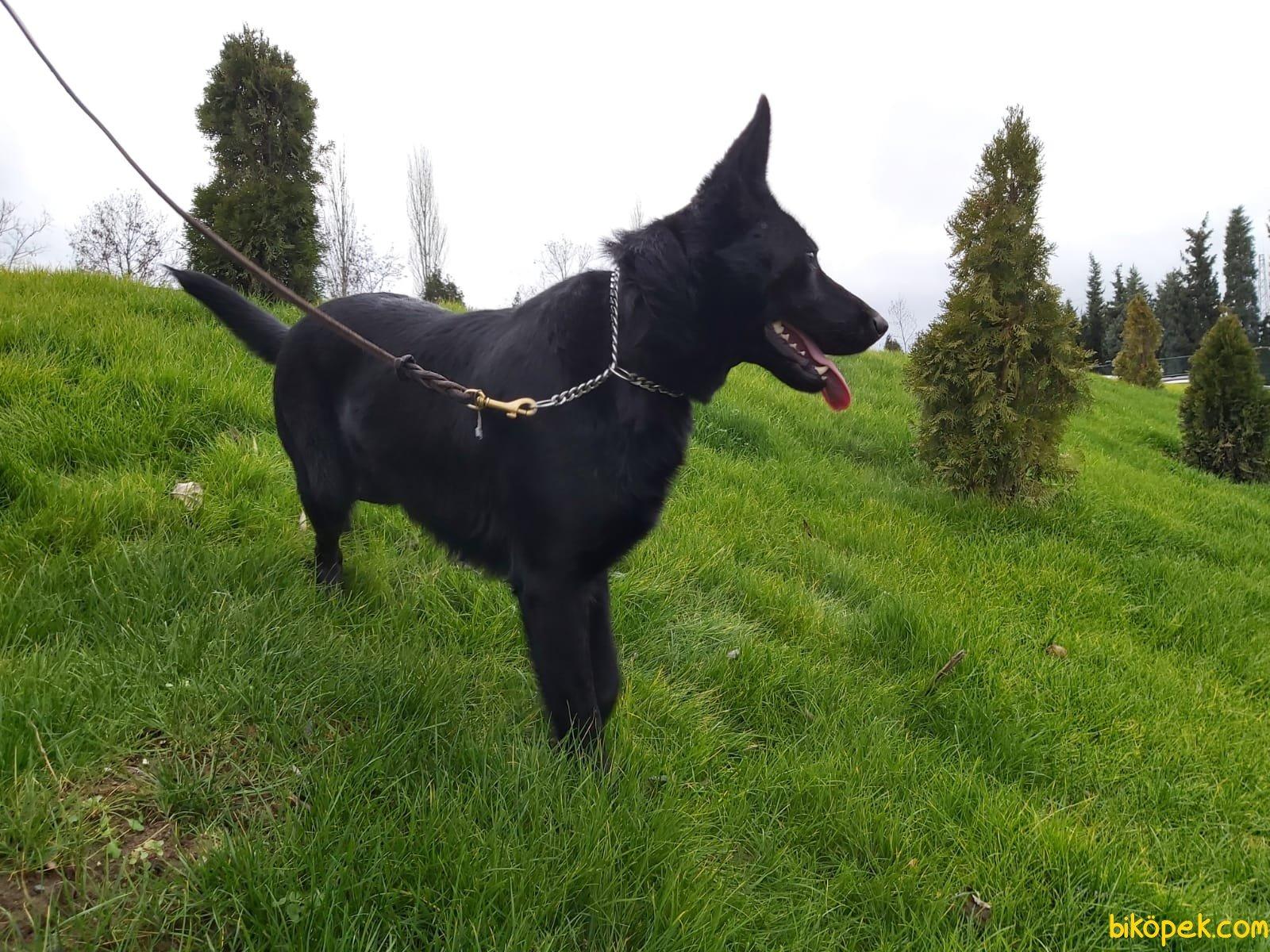 Siyah Alman Çoban 5