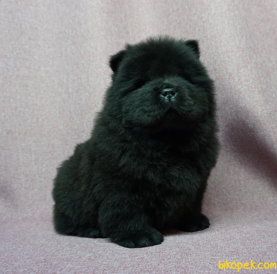 Siyah Çin Aslanı Yavrusu 2