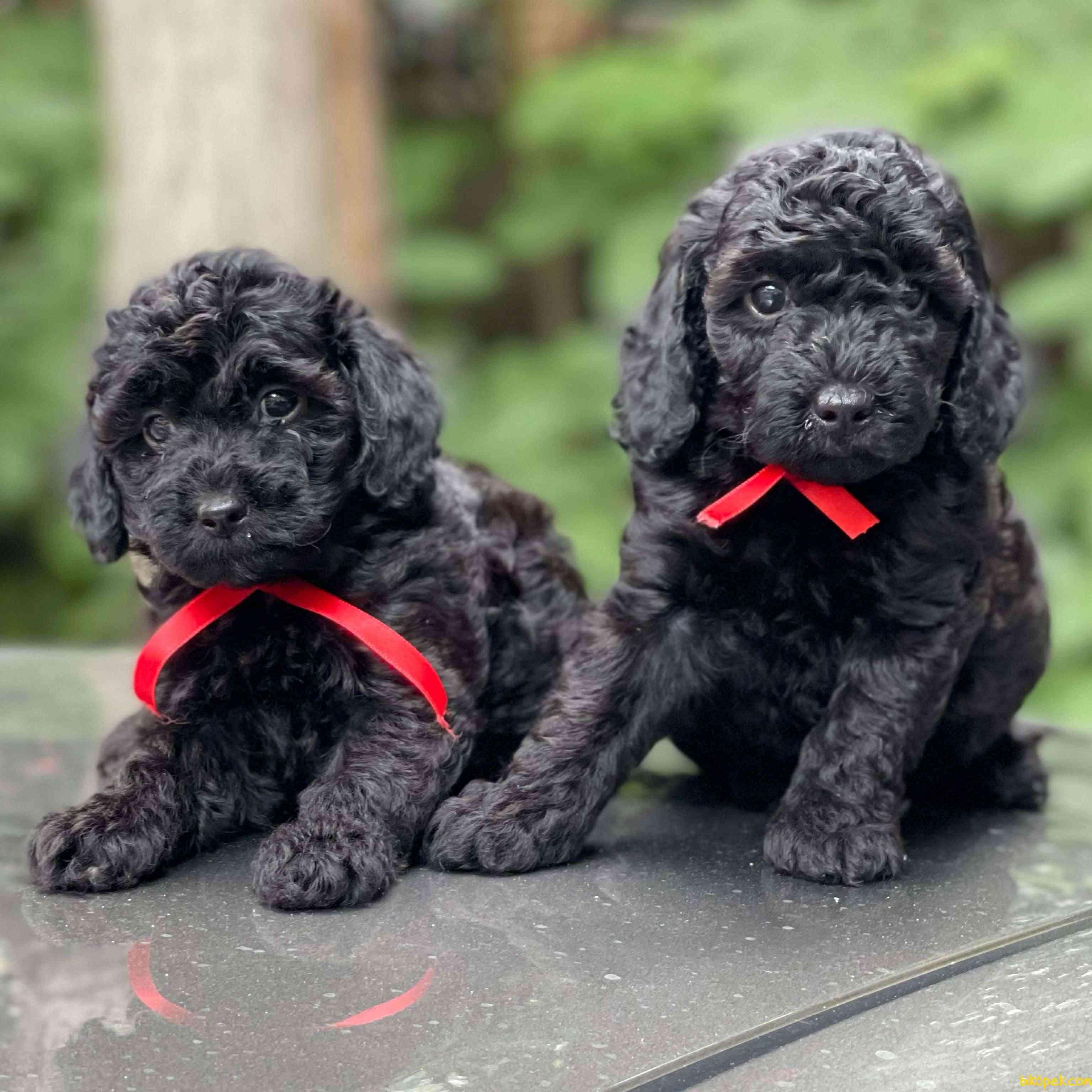 Siyah Inci Black Toy Poodle Yavrularımız 1
