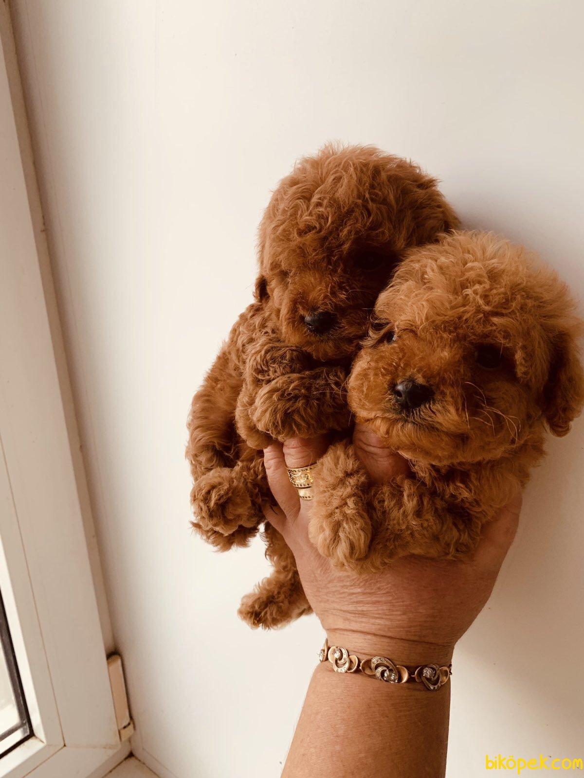 Red Toy Poodle Bebeklerimiz 3