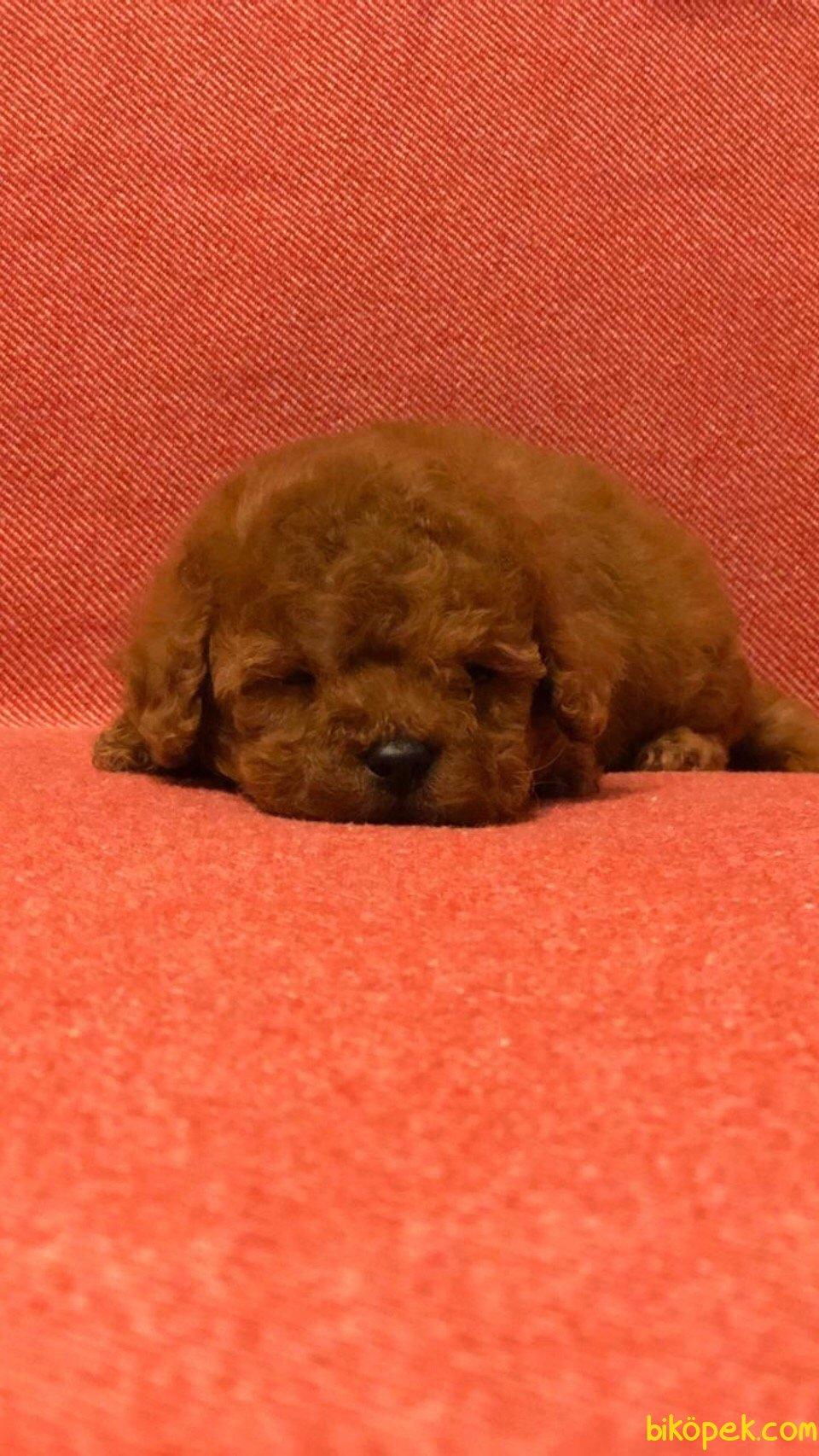 Red Toy Poodle Bebeklerimiz 1