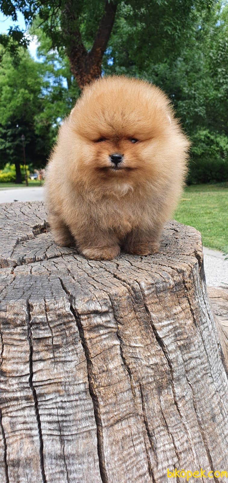 Teddy Bear Pomeranian Boo Orjinal Ayı Surat Köpeklerimiz 3