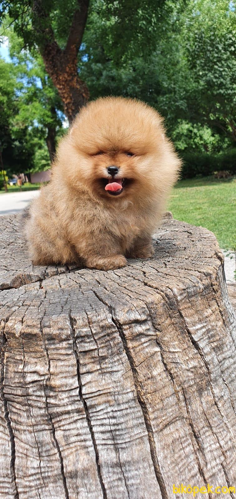 Teddy Bear Pomeranian Boo Orjinal Ayı Surat Köpeklerimiz 2