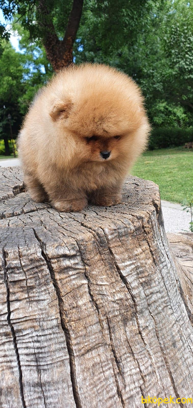 Teddy Bear Pomeranian Boo Orjinal Ayı Surat Köpeklerimiz 4