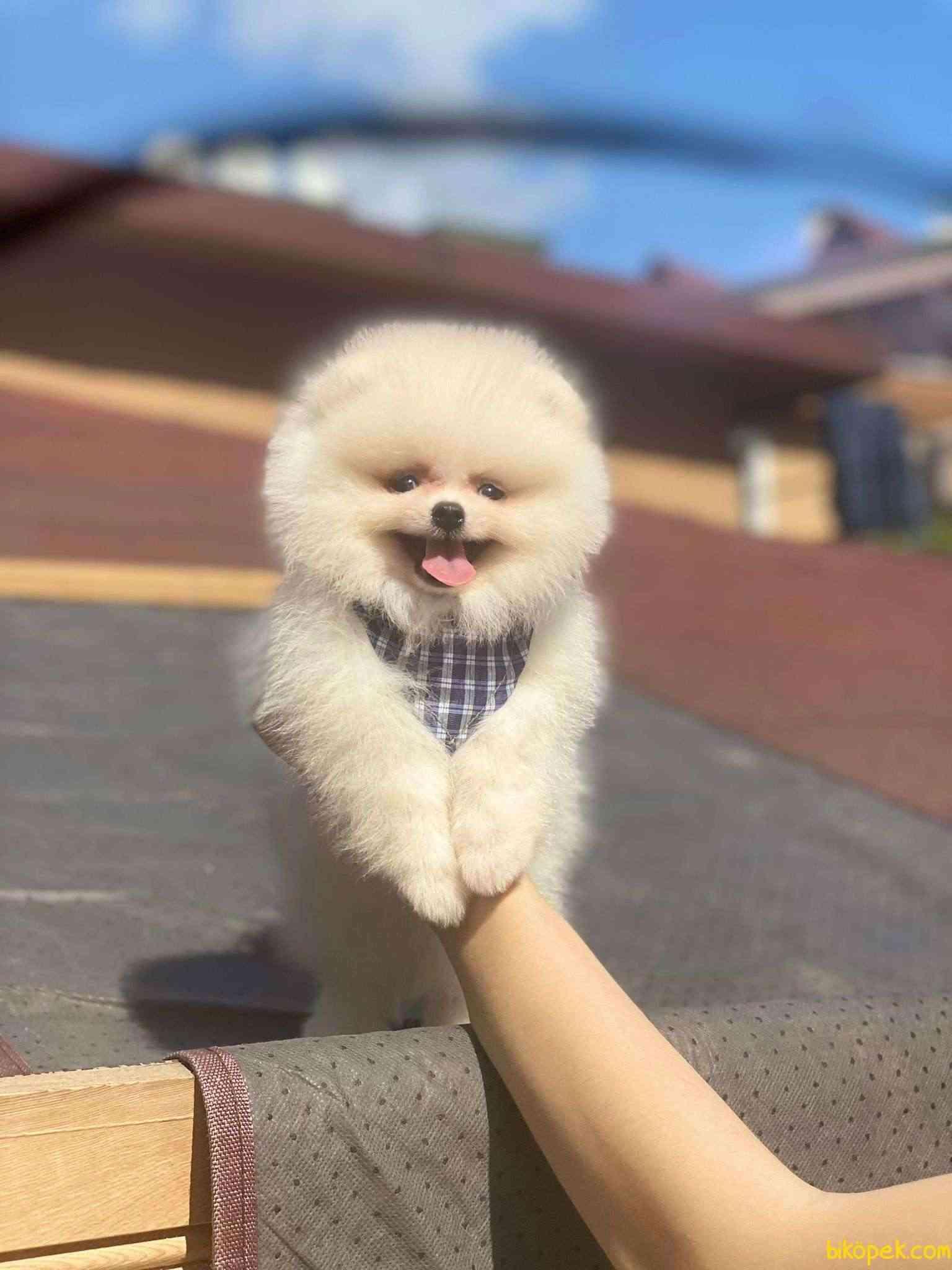Teddy Bear Pomeranian Boo Yavrumuz 2
