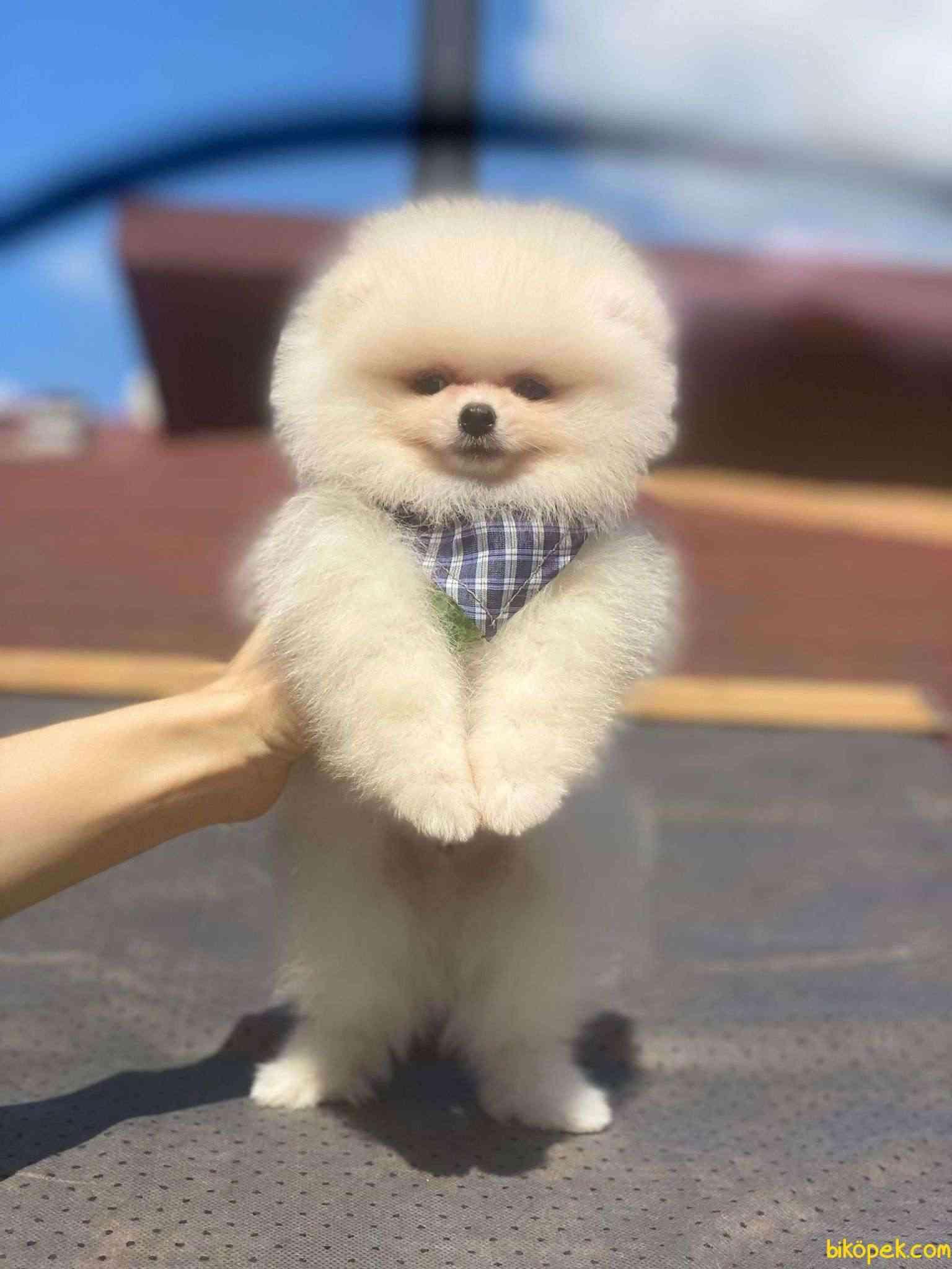 Teddy Bear Pomeranian Boo Yavrumuz 4