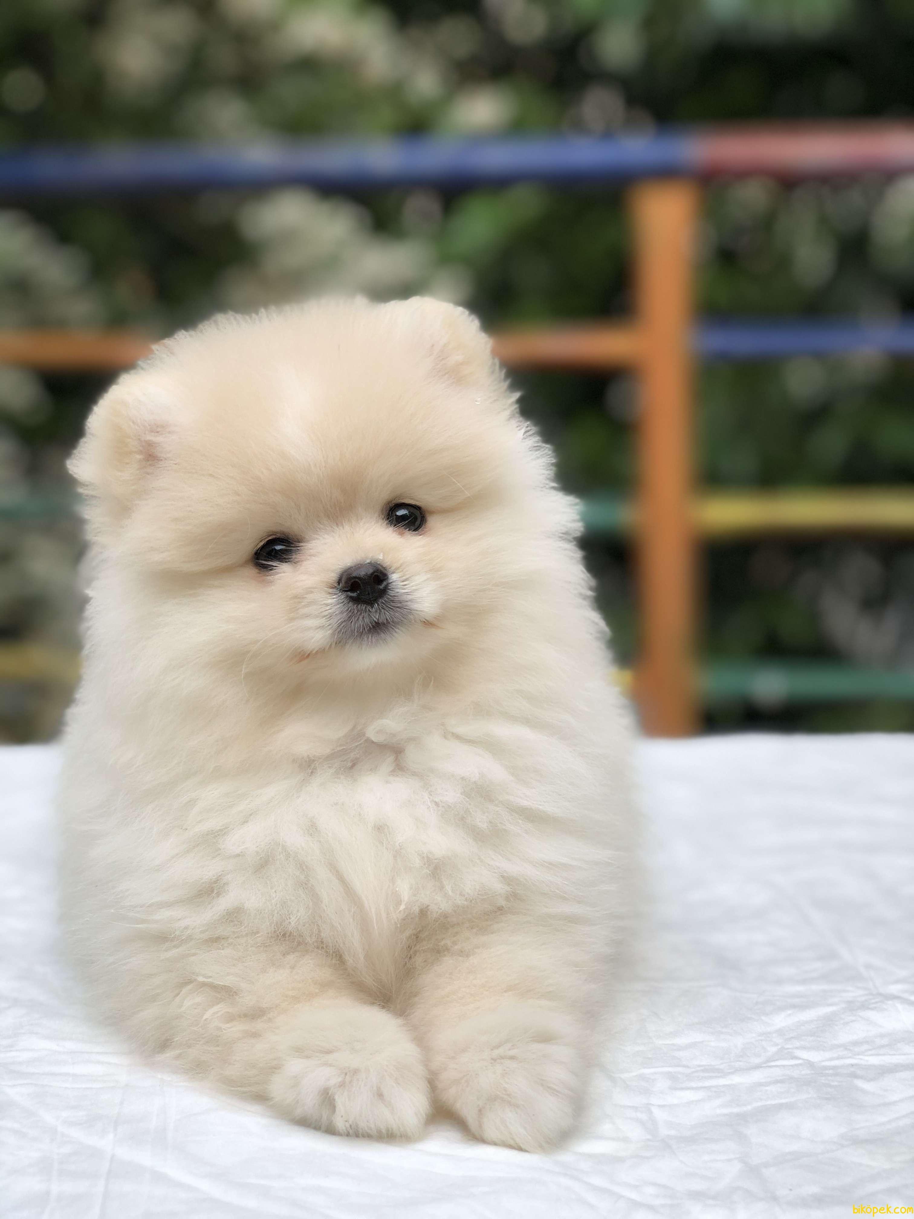 Teddy Bear Surat Pomeranian Boo Yavrumuz Irk Ve Saglık Garantili 1