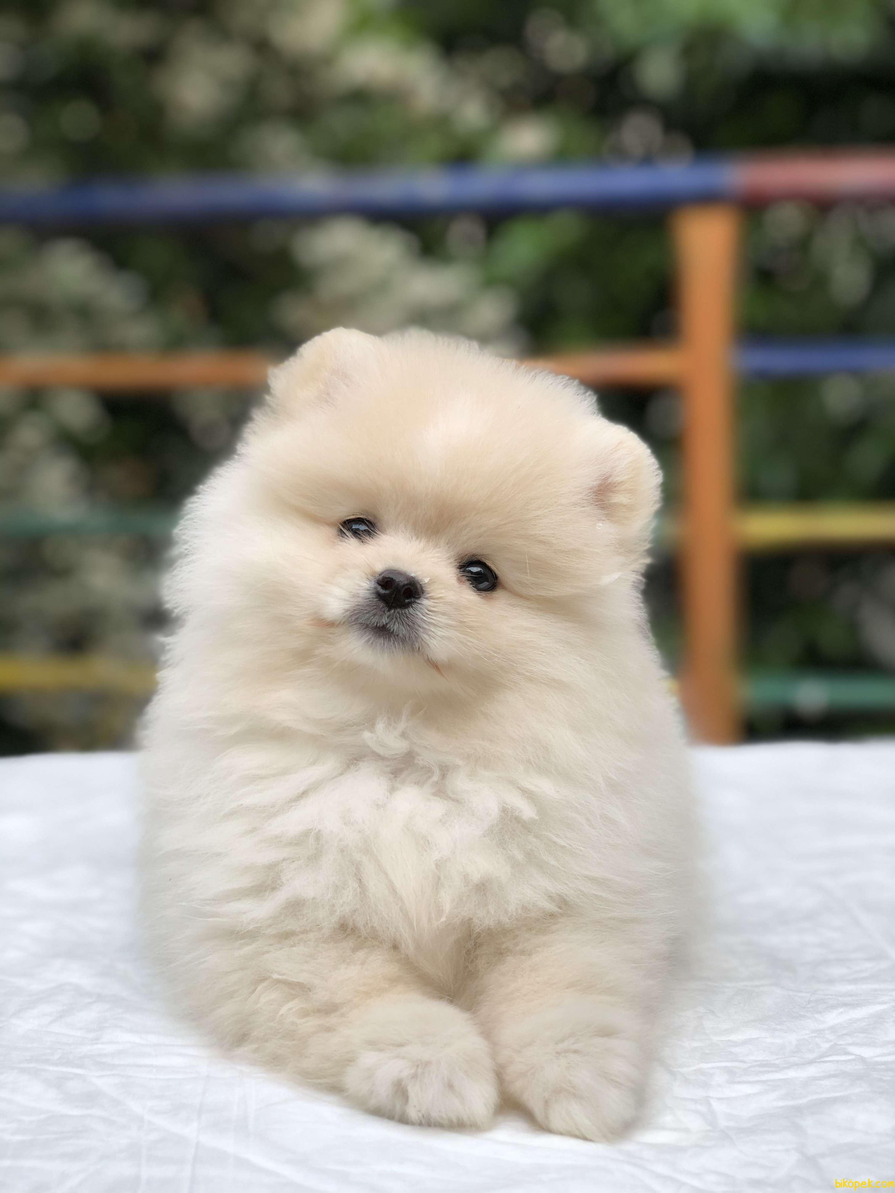 Teddy Bear Surat Pomeranian Boo Yavrumuz Irk Ve Saglık Garantili 4