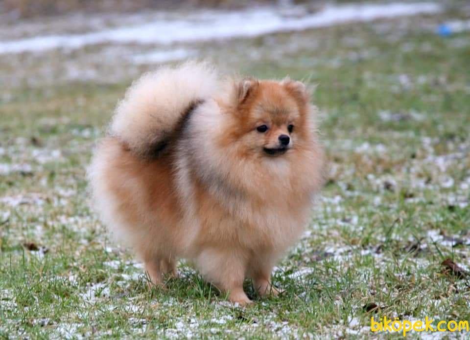 Teddybear Pomeranian Boo 3