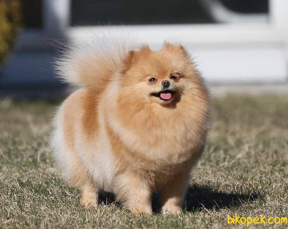 Teddybear Pomeranian Boo 4