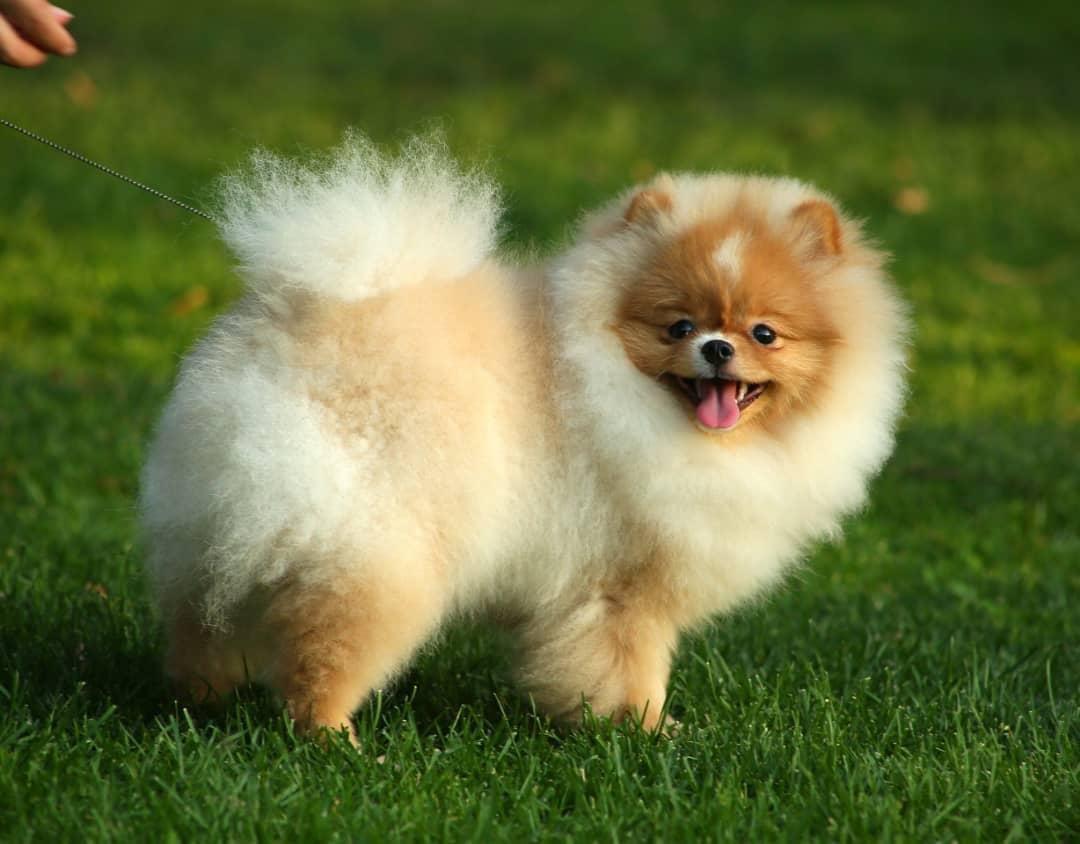 Teddybear Pomeranian Boo 2
