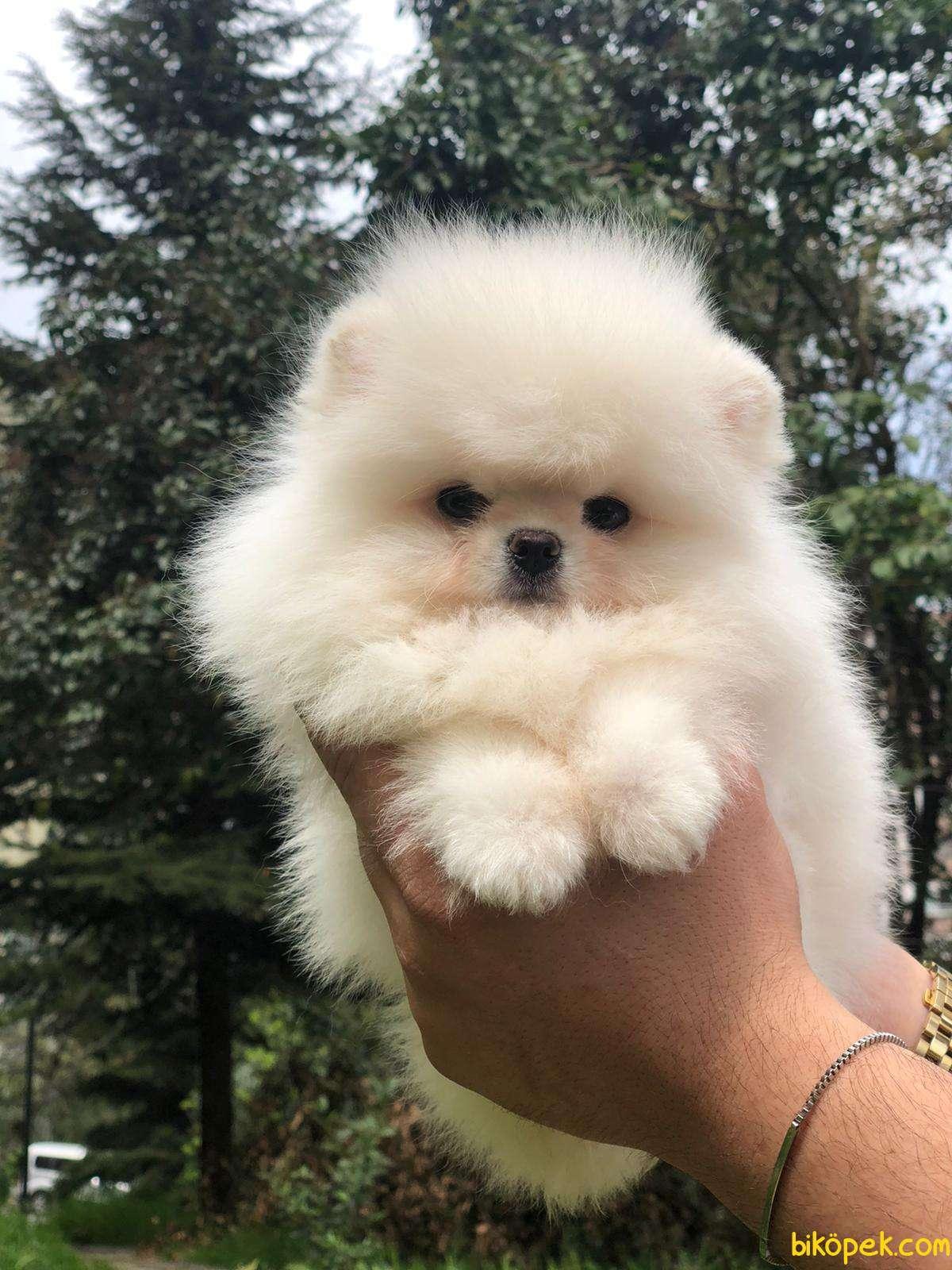 Teddybear Pomeranian BOO Yavrumuz 5